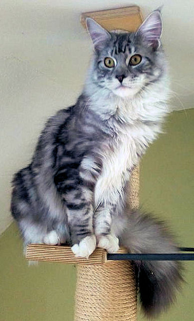 Coonieland eden barry white maine coon katze cat kat for Vater para gatos
