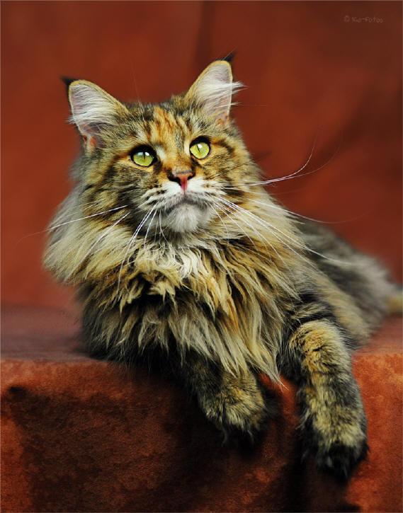rassebeschreibung maine coon katze cat kat poes katt felis chatte gatto gato kot kedi. Black Bedroom Furniture Sets. Home Design Ideas